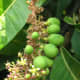 Here's a close-up of flowers and immature fruits on a mango tree.