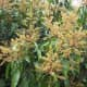 Flowers of the Mango Tree