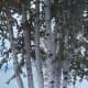 Eight White Birch Trees