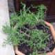 Rosemary in a flower pot.