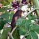 Robin on Sunflower Plant.