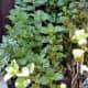 Mint Plants in My Garden