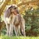 Deerhound 8