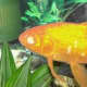 Goldfish with Cloudy Eye