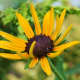 """This little black-eyed Susan seems to be saying, """"Psst! Over here!"""""""