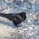 A northwestern crow