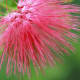 The hairs of the Mimosa are each clearly defined in this image. A flower this beautiful probably never has a bad hair day. Macrophotography allows you to see the little dots of color on the ends.