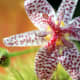 The Toad Lily blooms for a very short period of time in the spring. The spots on its petals make for a very interesting appearance that can appreciated so much more when observed in an enlarged image such as this one.
