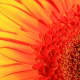 Gerbera Daisy:  Look at all the different lines, colors and textures that are enhanced by light.