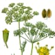 In medieval times, people believed that dill would protect them from witches, warlocks and sorcery.