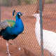Blue peacock and white peahen in Mysore zoo