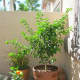 """Kind of like """"The little lime tree that could""""... it made it through the first HOT Las Vegas summer!"""