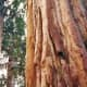 Thick bark of giant Sequoia trees