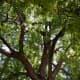 American Walnut tree (purple wood)