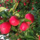A tree of red apples before cutting them.