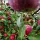 Red apples tree plantation