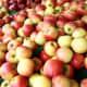 Apple fruit ripe