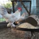 lavender d'uccle rooster and hen