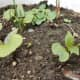 Mirabilis jalapa seedlings with baby leaves and developing real leaves.