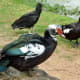 Muscovy Ducks and a Black Vulture