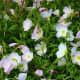 Evening Primrose wildflower