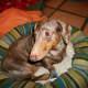 Sebastion profile.  Chocolate dapple dachshund. He has a huge overbite.