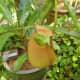 cephalotus-follicularis-aka-albany-pitcher-plant