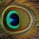 "Peacock feather's ""eye."""