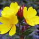 Evening Primrose Oil (Wikimedia Commons)