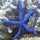 """Linckia laevigata (sometimes called the """"blue Linckia"""" or Blue Sea Star) is a species of sea star in the shallow waters of tropical Indo-Pacific."""