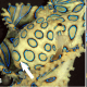 The Greater Blue-ringed Octopus (Hapalochlaena lunulata) is one of three (or perhaps four) species of blue-ringed octopuses. Unlike its southern brethren, the Blue-lined and Southern Blue-ringed octopuses that are found only in Australian  waters.