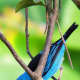 The Blue Dacnis or Turquoise Honeycreeper, Dacnis cayana, is a small passerine  bird. This member of the tanager family is found from Nicaragua  to Panama, on Trinidad, and in South America south to Bolivia and northern Argentina.