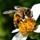 Beatrice the honey bee on a Spanish needle blossom