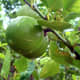 Matt photographed this lime tree on July 22, 2007.
