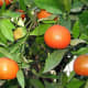 Golf bravo photographed clementines growing in Israel on December 1, 2006.