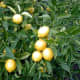 Allen Timothy Chang photographed this lemon tree on January 6, 2005.