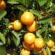 Kumquats—Citrus japonica 'Crassifolia'—were photographed in Vietnam by Phuong Tran on January 30, 2011.