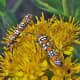 Webworm moths (Atteva punctella) feed on stiff goldenrod