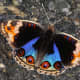 Male Blue Pansy Brushfooted Butterfly