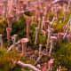 Cladonia grayi -  anyone ready for golf?