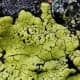 Rhizocarpon geographicum, a fluorescent yellow lichen in bright light changing to a greenish-yellow and to Fluorescent green as the light fades.