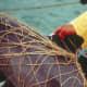 Vaquita caught in fishing nets