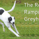 The Rampur Greyhound  - The Hunting Dogs From India