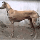 the-best-hunting-gun-dogs-from-india