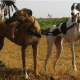 Sarail Hound and Rampur Greyhound          - The Hunting Dogs From India