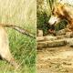 Bengal Hound