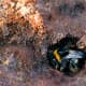 Bumblebees appreciate that the soil is a great place to spend the winter away from their predators and the cold weather. Bumblebees hibernate but honeybees do not.