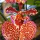 Miss Allison Angel Orchid