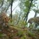Amur leopards in their habitat