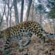 Amur leopard in its habitat